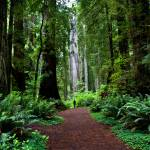 """Redwood Path"" by pbk"