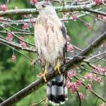 """Sharp-shinned Hawk"" by Picsofnature"