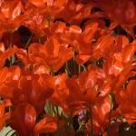 """Red Tulip Red Tulip Red Tulip"" by ianclasper"