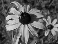 Daisies in Black & White