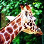 """Giraffe at Southwicks Zoo"" by wendymarie71"