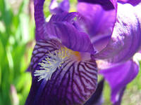 Irises Purple Iris Flowers 11 Spring Flowers Art