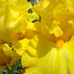 """Irises Yellow Iris Flower 14 Spring Flowers Art"" by BasleeTroutman"