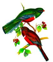Collared Trogon, Trogon collaris