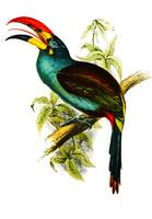 Grey-breasted Mountain-toucan (Andigena hypoglauca