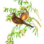 """Peaceful Dove, Geopelia striata tranquilla"" by markkumurto"