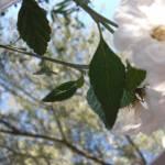 """Blue and White Spring Harmonies"" by artbyaleksandra"