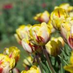 """red and yellow tulips"" by ianclasper"