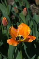 open orange tulip