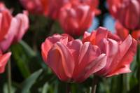 Tulips - pink