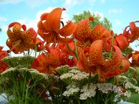 Tiger Lilies 397