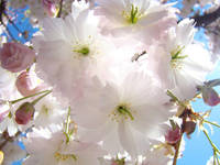 BLOSSOMS Spring 53 PINK Tree Blossoms Fine Art