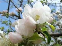 APPLE TREE BLOSSOMS 49 Spring Tree Flowers Art