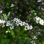 """Leptospermum scoparium (Manuka Tea tree)"" by nathanw"