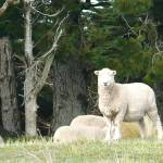 """New Zealand has 200 million sheep ~ here are 4 of"" by nathanw"