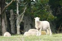 New Zealand has 200 million sheep ~ here are 4 of