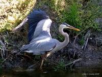 Great Blue Heron At Bushman Park