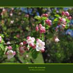 """Apple Blossoms"" by mirjamgremes"