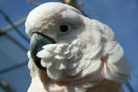 cockatoo1