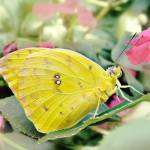"""Giant Cloudless Sulphur Butterfly - Phoebis sennae"" by annatheodora"