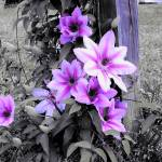 """Purple Flowers"" by laceyleigh"