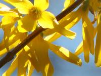 Forsythia Star
