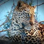 """Leopard"" by PicklesAddie"