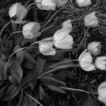 """Tulips in the wind...BW"" by riverbendwoman"