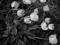 Tulips in the wind...BW
