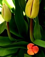 Dramatic contrast tulips