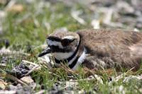 Killdeer on eggs