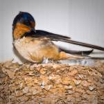 """Barn Swallow on Nest"" by tex"