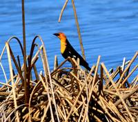 Nesting Yellow Headed Blackbird