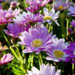 """Daisy photo 2"" by MissWhitEE"
