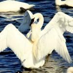 """Swan Display"" by stephanieripley"