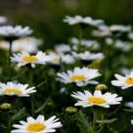 """Daisy photo 4"" by MissWhitEE"