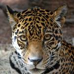 """Jaguar Stare"" by catmca"