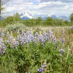 """Tetons and Lupines"" by angeal"