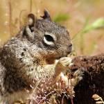 """Grazing Squirrel"" by AprilCopeland"