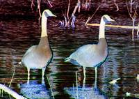 Manipulated Geese