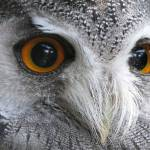 """White-Faced Scops Owl"" by robcheerio"