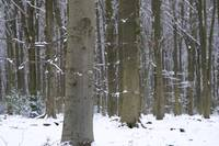 Beech and Snow (1D3_2074)
