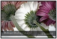 Three Gerberas, all in a row...