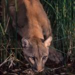 """Mountain Lion at water hole"" by PronghornPix"