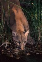 Mountain Lion at water hole