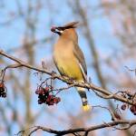 """Cedar Waxwing"" by Picsofnature"