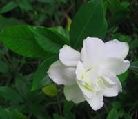 Humble White Flower
