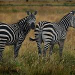 """ZEBRAS"" by GaryPuckettPhotography"