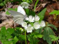 White Cabbage Butterfly on Fringed Phacelia