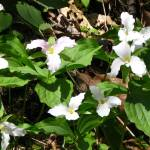 """Mound of Wild, White Trillium"" by MistletoeRidge"